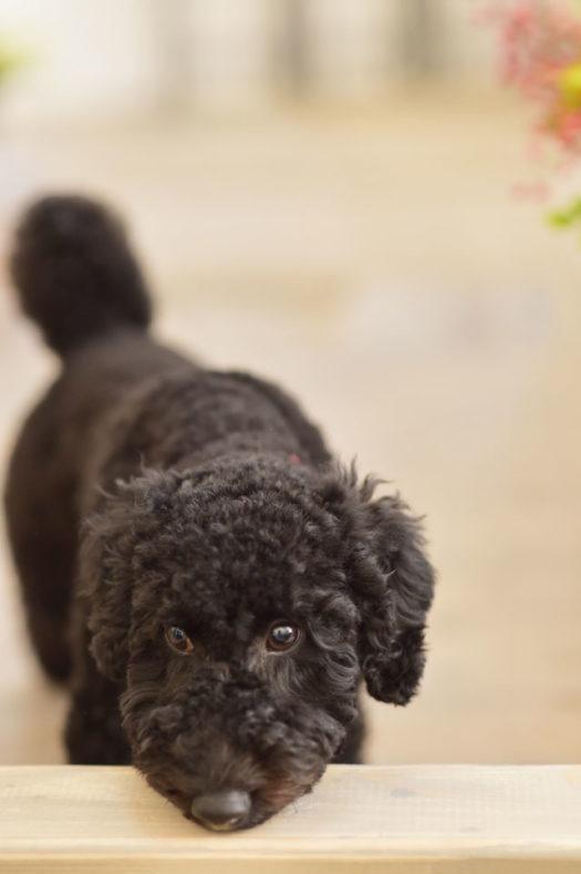 宝塚市 ペットフォト トイプードル 黒トイプー 犬撮影