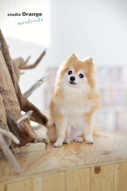 西宮市 ペットフォト 犬 ポメラニアン