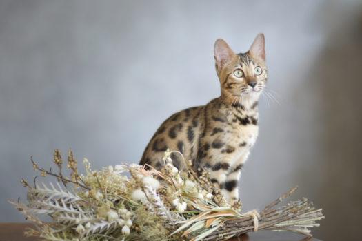 猫 ペット撮影 スタジオオレンジモンテシート ベンガル