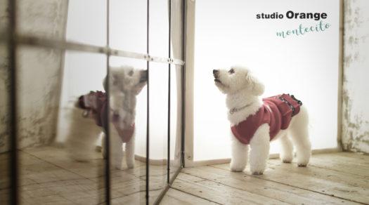 高槻市 犬と撮れる ペット撮影 ビションフリーゼ
