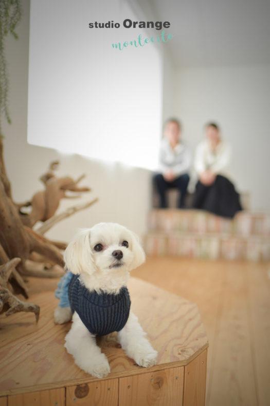 宝塚市 ペットフォト 犬写真撮影 マルチーズ