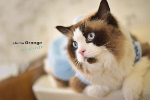 ペットフォト 猫 ラグドール 宝塚市 写真館 スタジオオレンジモンテシート