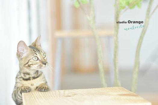 宝塚市 ペット 猫