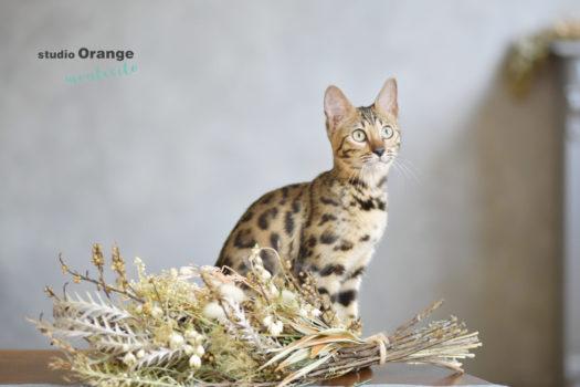 宝塚市 写真館 スタジオオレンジモンテシート ペットフォト 猫 ベンガル