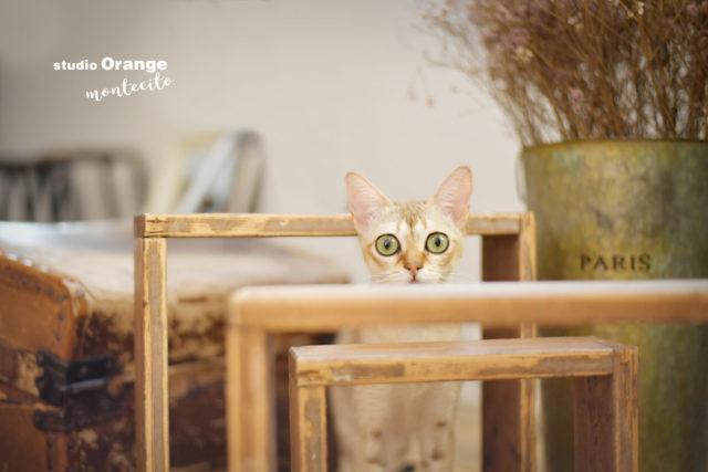 ペット ペットフォト 猫 シンガプーラ 写真館 スタジオオレンジモンテシート